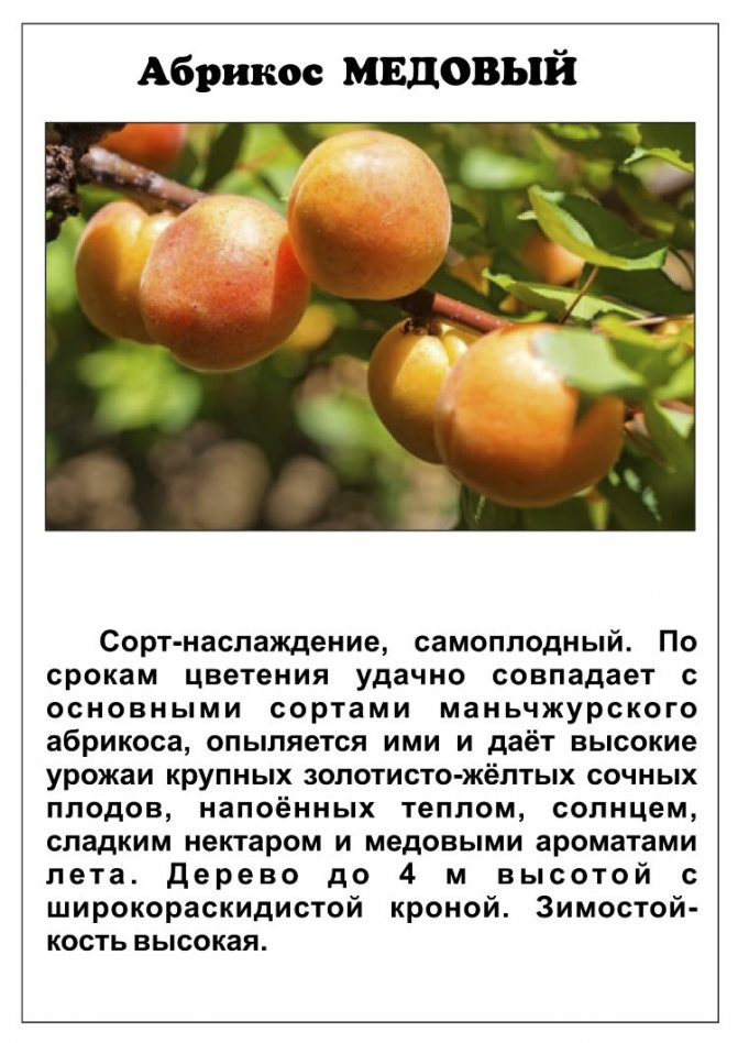 Абрикос маньчжурский: описание сорта и характеристики, посадка и уход, размножение