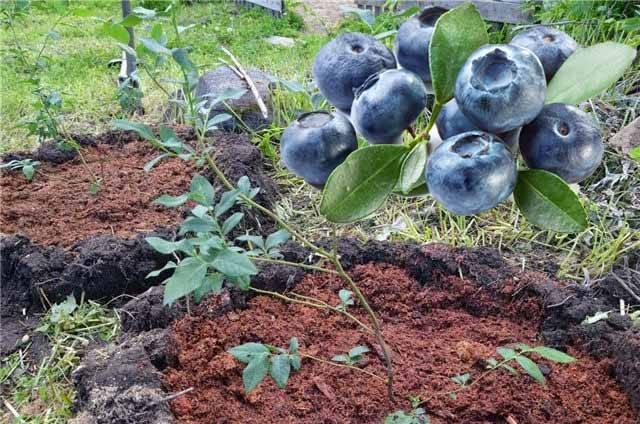 Как посадить и вырастить голубику из семян в домашних условиях