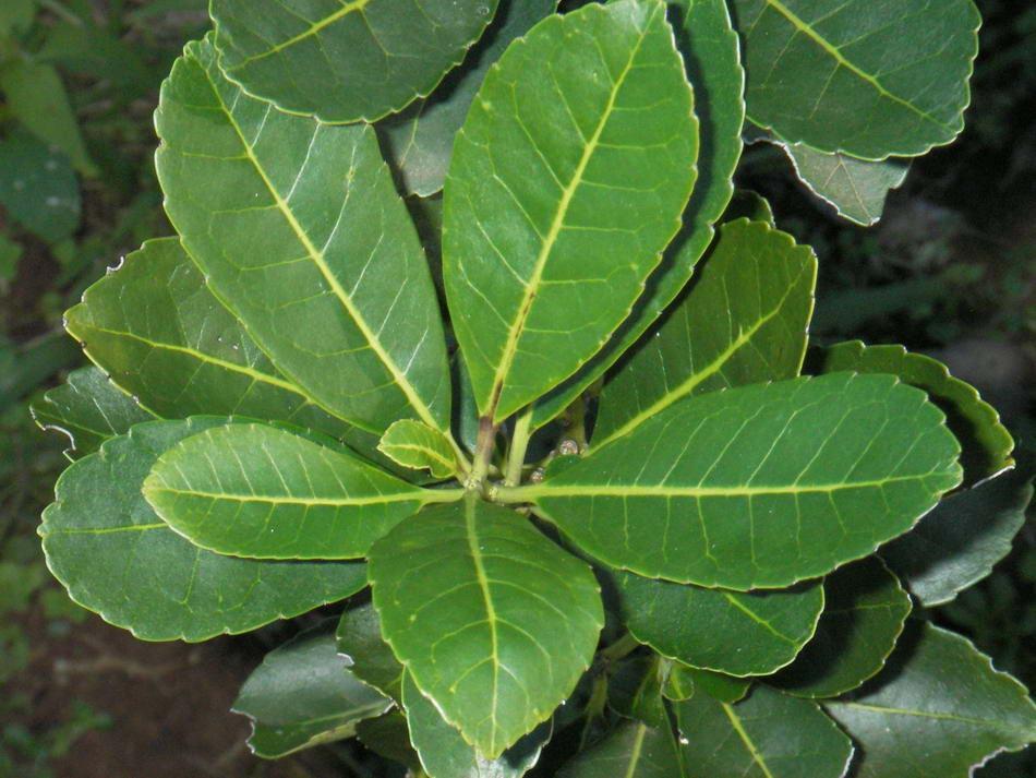 Парагвайский чай мате (падуб): правила приготовления и польза