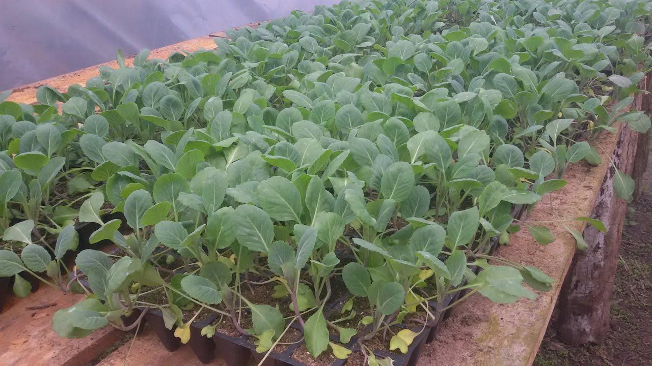 Выращивание цветной капусты: как вырастить из семян, уход за ней на огороде и дома, почему не завязываются кочаны, фото