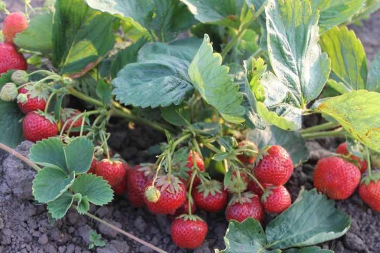 Клубника эльсанта — эталон урожайности и вкуса