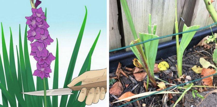 Гладиолусы после цветения: что делать дальше? нужно ли обрезать их после того, как они отцвели? уход осенью и в августе