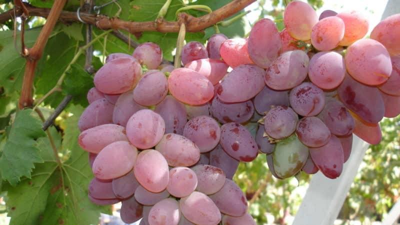 """Сорта винограда для средней полосы россии с фото и описанием - журнал """"совхозик"""""""