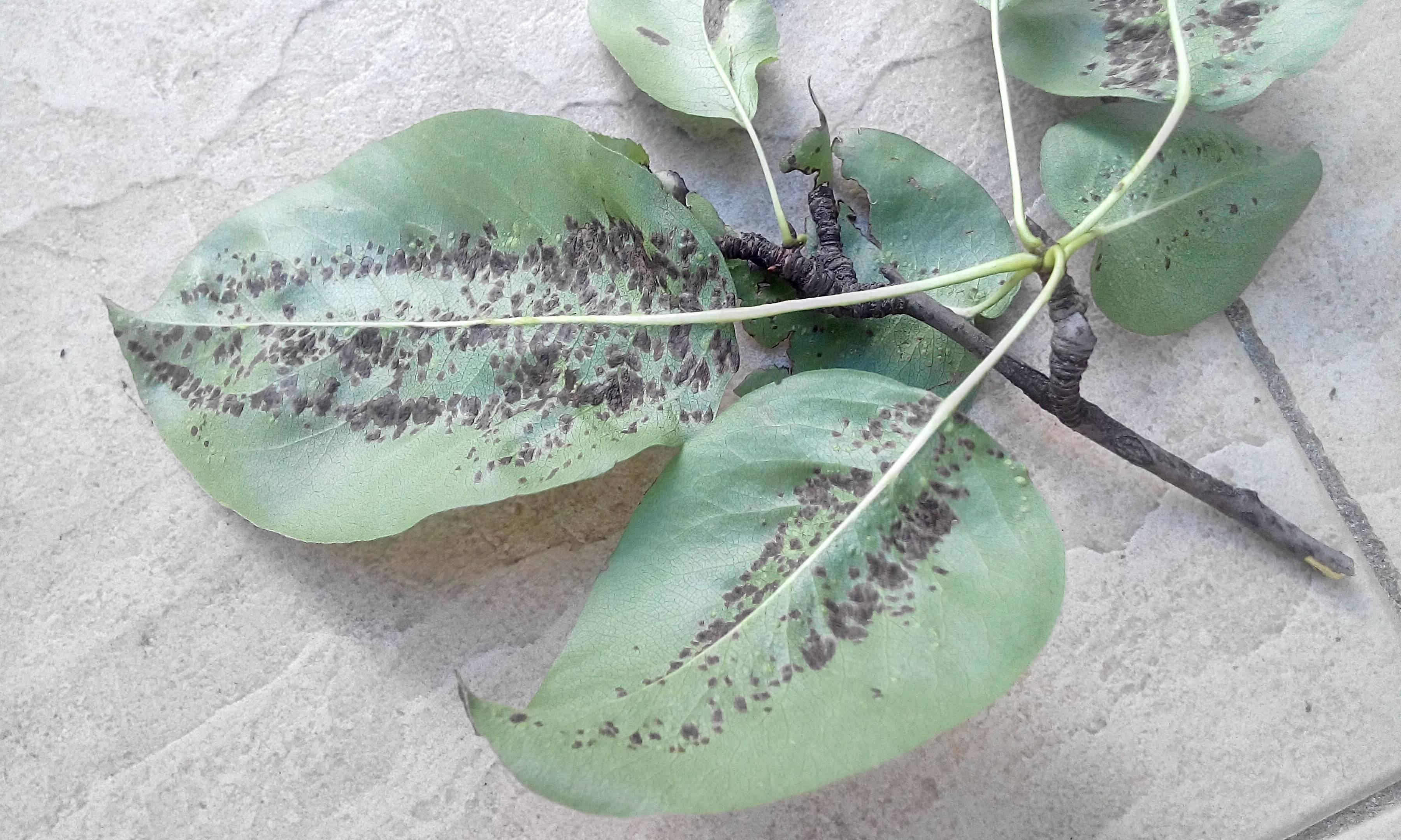 Причины появления галлового на груше клеща и меры борьбы химическими и народными средствами