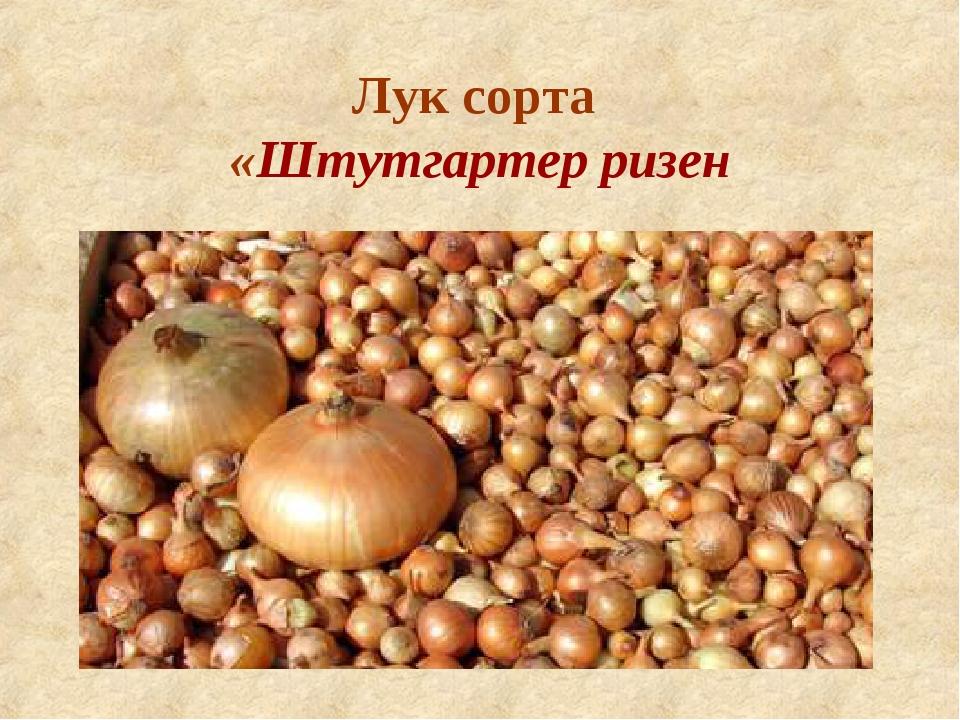 Все о луке штутгартер: описание сорта, посадка, выращивание и уход