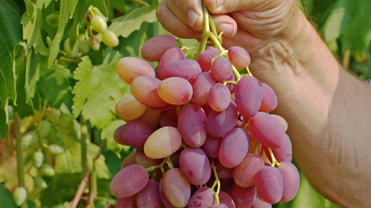 Виноград юбилей новочеркасска: описание сорта, отзывы