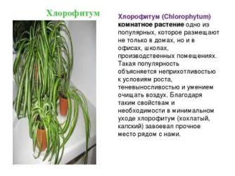 Хлорофитум хохлатый (30 фото): уход за цветком в домашних условиях, сорт vittatum - чемпион по очистке воздуха