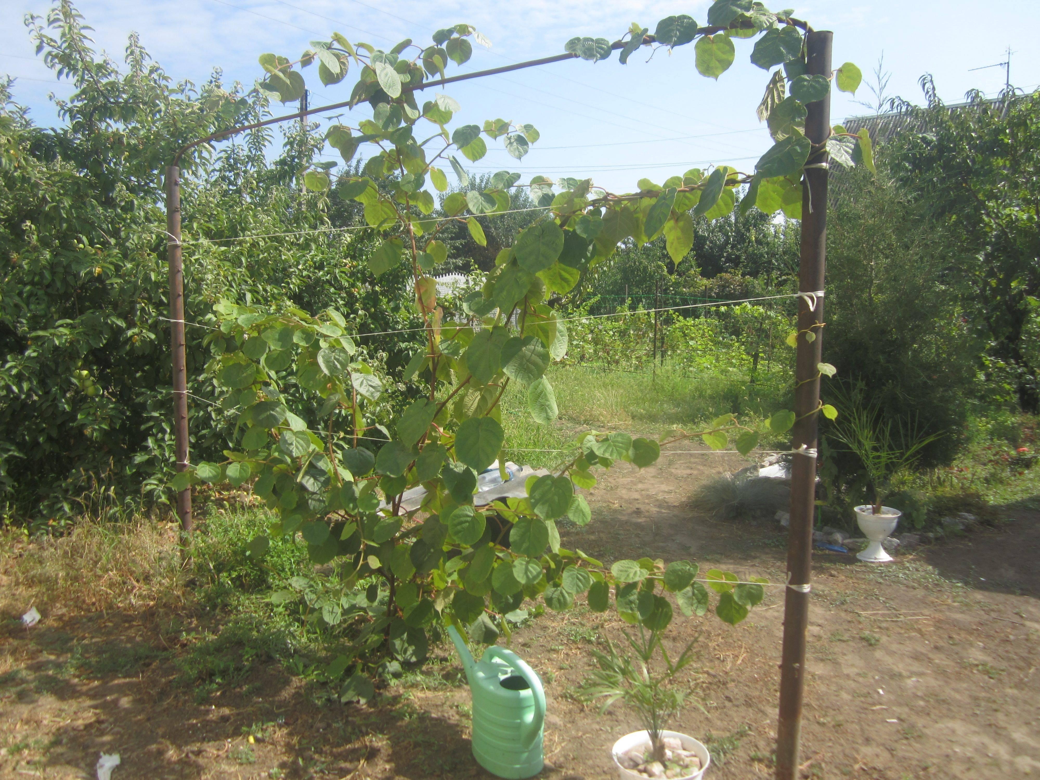Как вырастить киви в открытом грунте