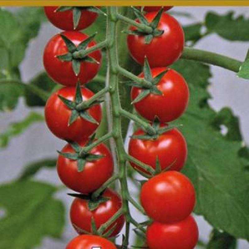 Самые крупные индетерминантные сорта помидоров с фото и описанием устойчивые к фитофторе