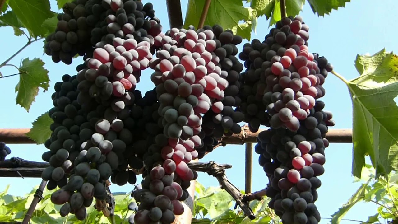 Виноград юпитер: описание сорта с характеристикой и отзывами, особенности посадки и выращивания, фото
