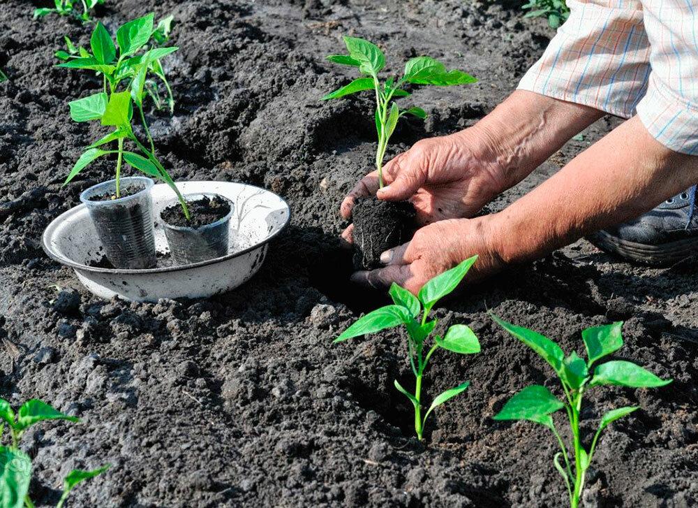 Щавель — секреты посадки и ухода за растением в открытом грунте