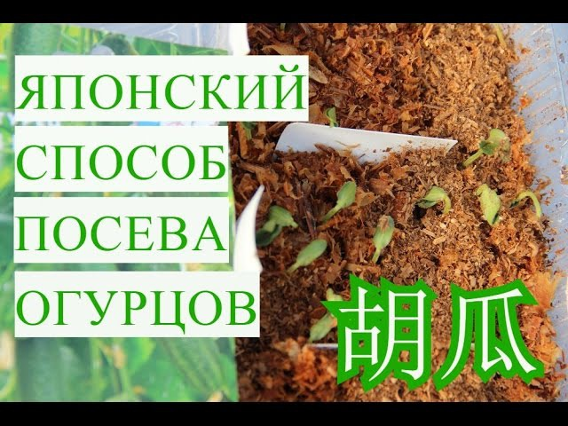 Проращивание семян огурцов в опилках: особенности и преимущества проращивания