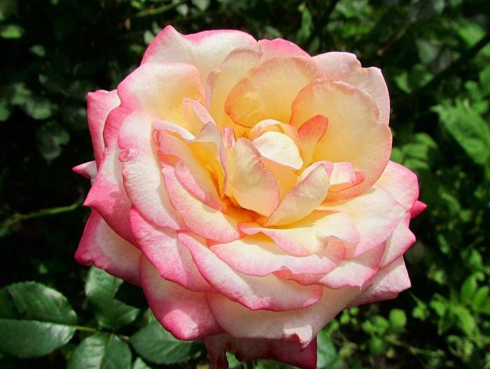 Роза глория дей: описание и особенности сорта