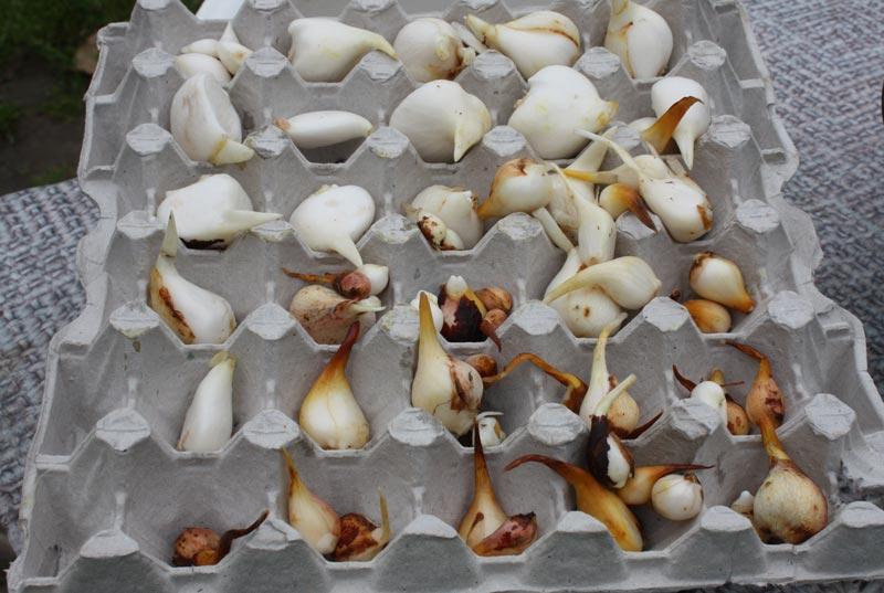 Когда выкапывать луковицы тюльпанов после цветения летом и как хранить до осени: сроки и способы