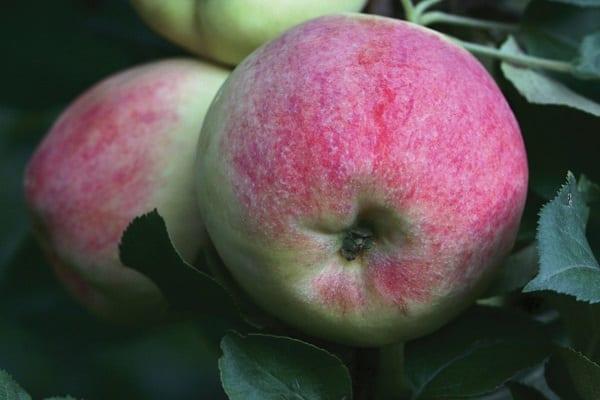 Штамбовая яблоня — обзор разновидностей