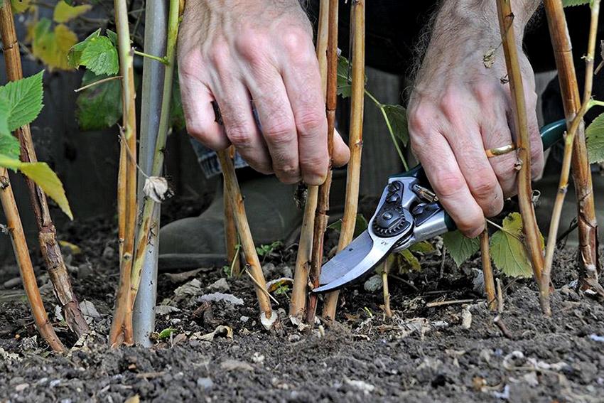 Правильный уход за малиной: особенности посадки, борьба с вредителями