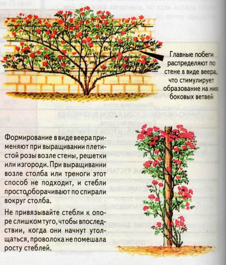 Розы: посадка и уход в открытом грунте для новичков, способы размножения