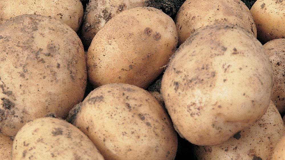Картофель рамона: отзывы и фото, описание и характеристика голландского сорта, особенности агротехники, посадка, удобрение, урожайность