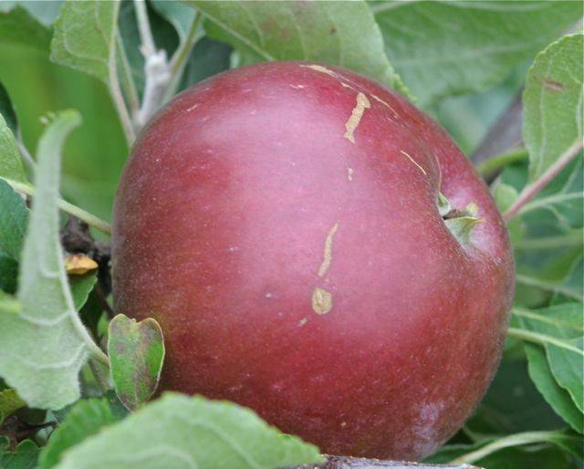 Яблоня коваленковское: посадка, обрезка