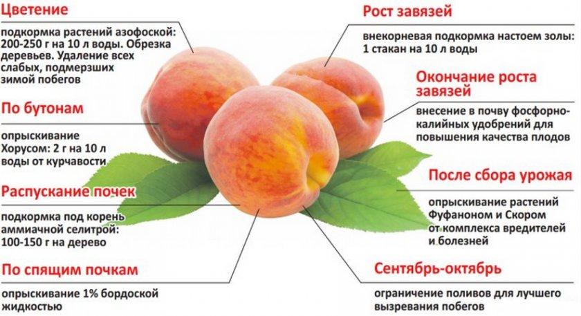 Чем подкормить абрикос весной, виды удобрений и подкормки, какие и когда вносить