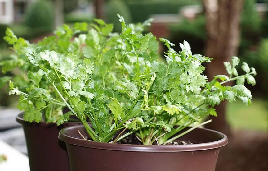 Как выращивать петрушку из семян на подоконнике зимой и ухаживать за ней