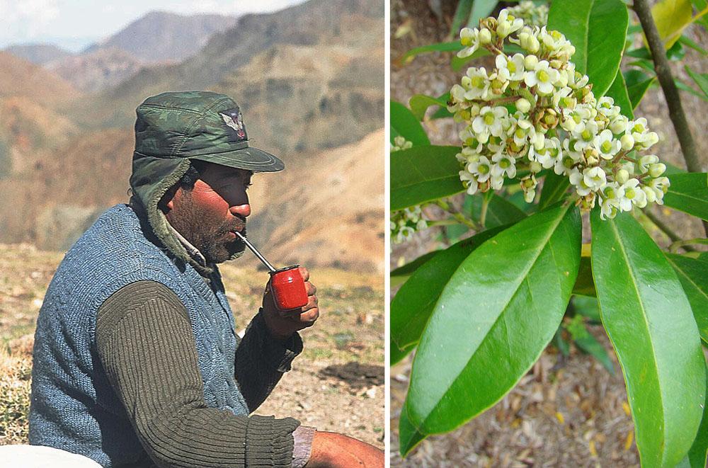 Польза и вред чая матэ, его свойства и заваривание