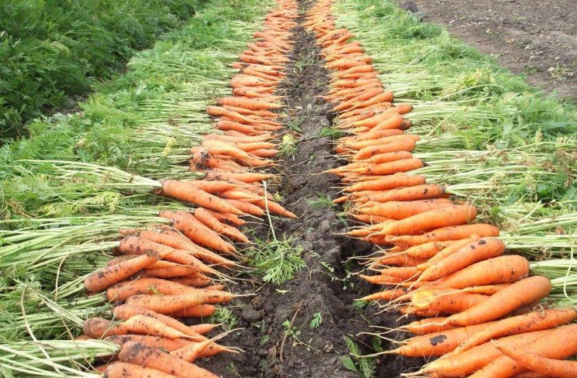 Когда и как выкапывать морковь с грядки: сроки уборки на хранение