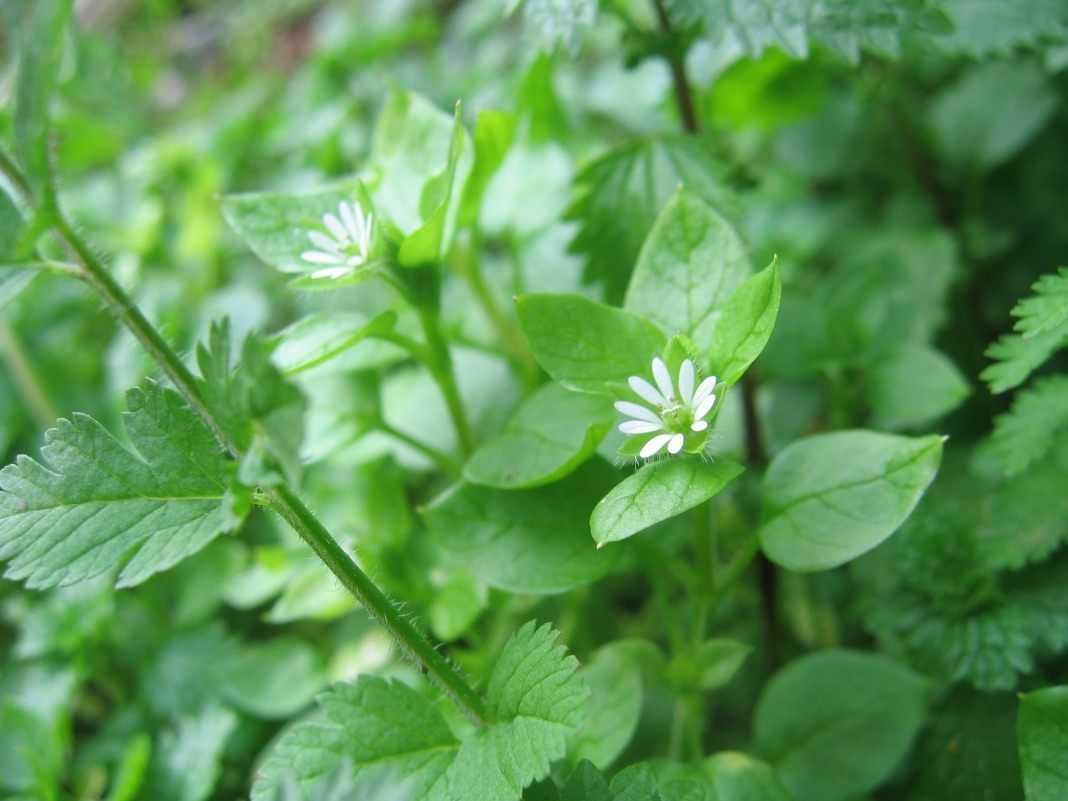 Звездчатка - фото, описание, лечебные свойства растения мокрица
