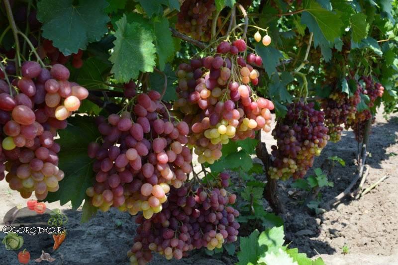 Виноград юлиан: описание, фото и отзывы