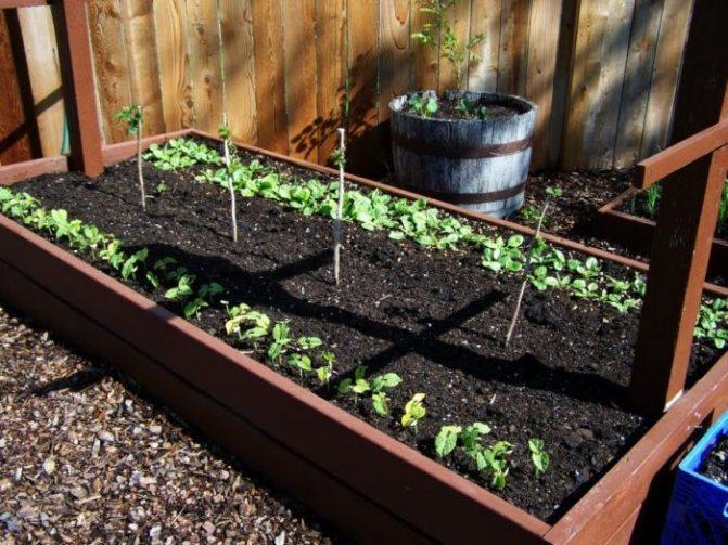 Как правильно вырастить малину из семян в домашних условиях