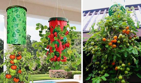 Выращивание помидоров «вверх ногами»: выбор сорта и посадка