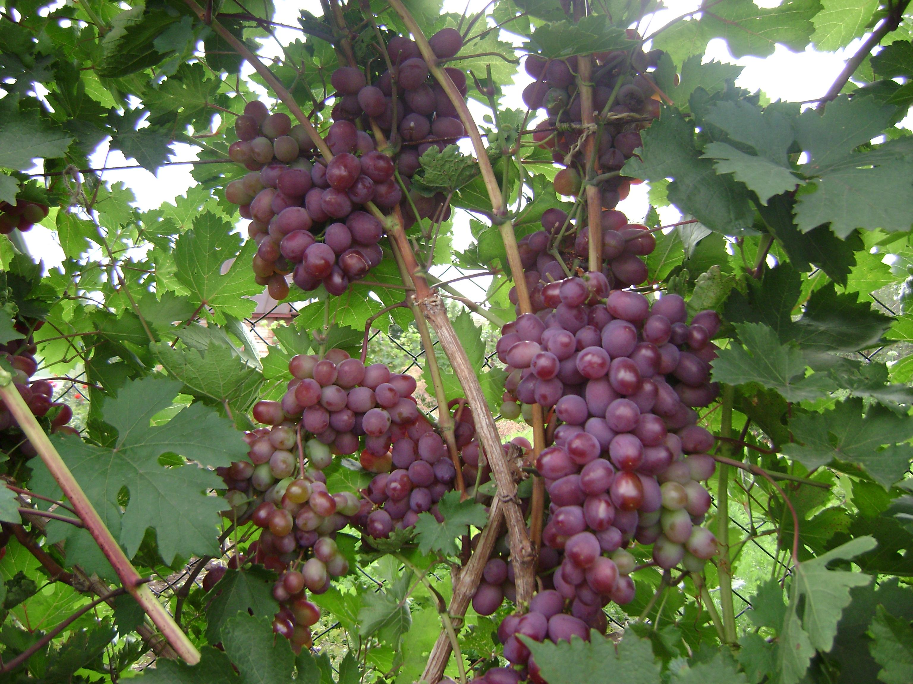 Виноград виктория: описание сорта с характеристикой и отзывами, особенности посадки и выращивания, фото