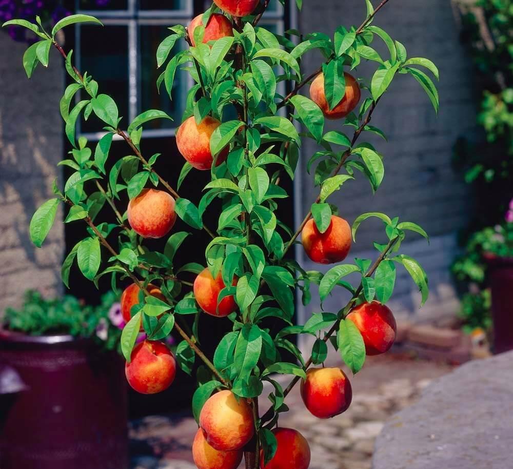 Персик в подмосковье: описание лучших сортов, посадка и уход в открытом грунте