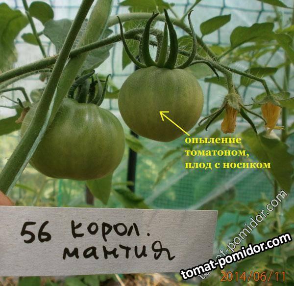 Описание сорта томата королевская мантия, его урожайность и правила выращивания - всё про сады