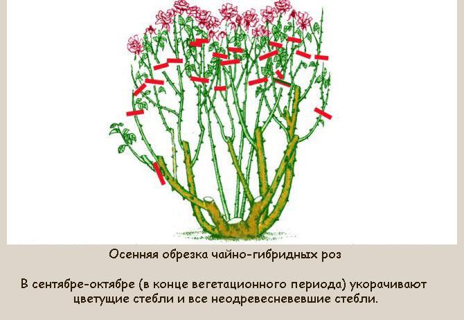 Уход за розами осенью: подготовка к зиме, подкормка, обрезка, пересадка, укрытие
