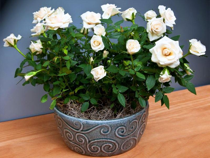 Домашняя или комнатная роза - уход и выращивание   о розе