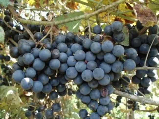 Как выбрать сорт винограда: основные отличия и особенности