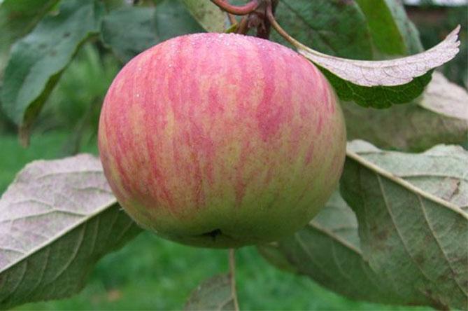 Яблоня коричное полосатое: фото, описание сорта и его разновидностей новое, ананасное и дымчатое, особенности возделывания и рекомендации по посадке и выращиванию