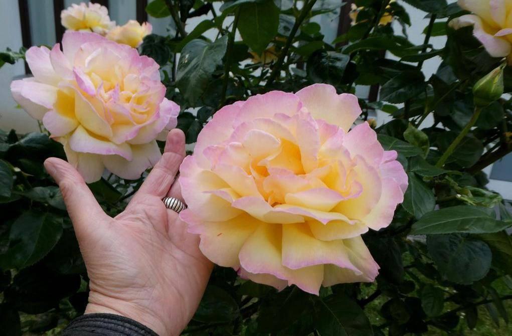 Роза глория дей клайминг: отзывы, фото, описание сорта, выращивание, посадка и уход