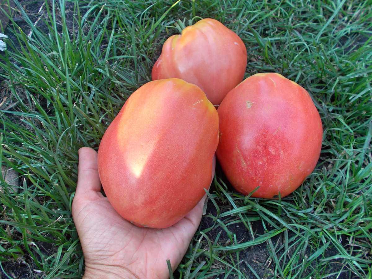Характеристика и описание томата «орлиный клюв»