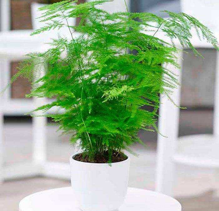 Выращиваем аспарагус (спаржу): ажурное чудо в домашних условиях