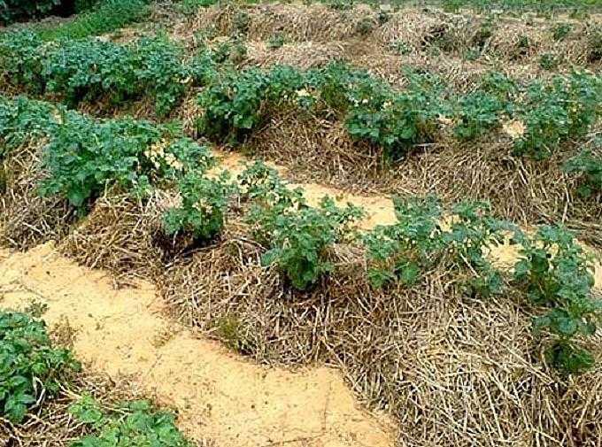 Что такое картофель под мульчей, какие материалы нужны для такой посадки и как ее проводить?