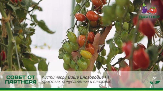 Описание сорта томата ваше благородие, особенности выращивания и ухода