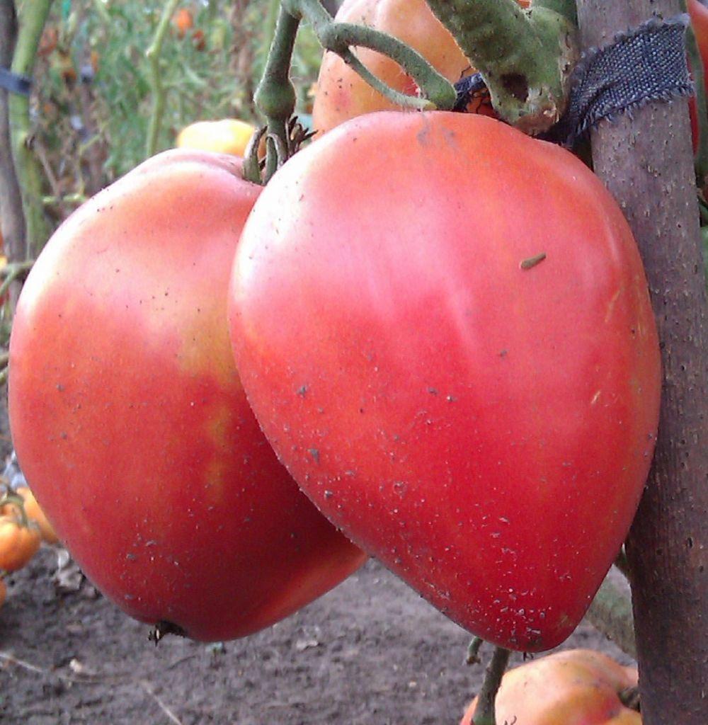 Томат — батяня: отзывы, фото, урожайность, описание сорта