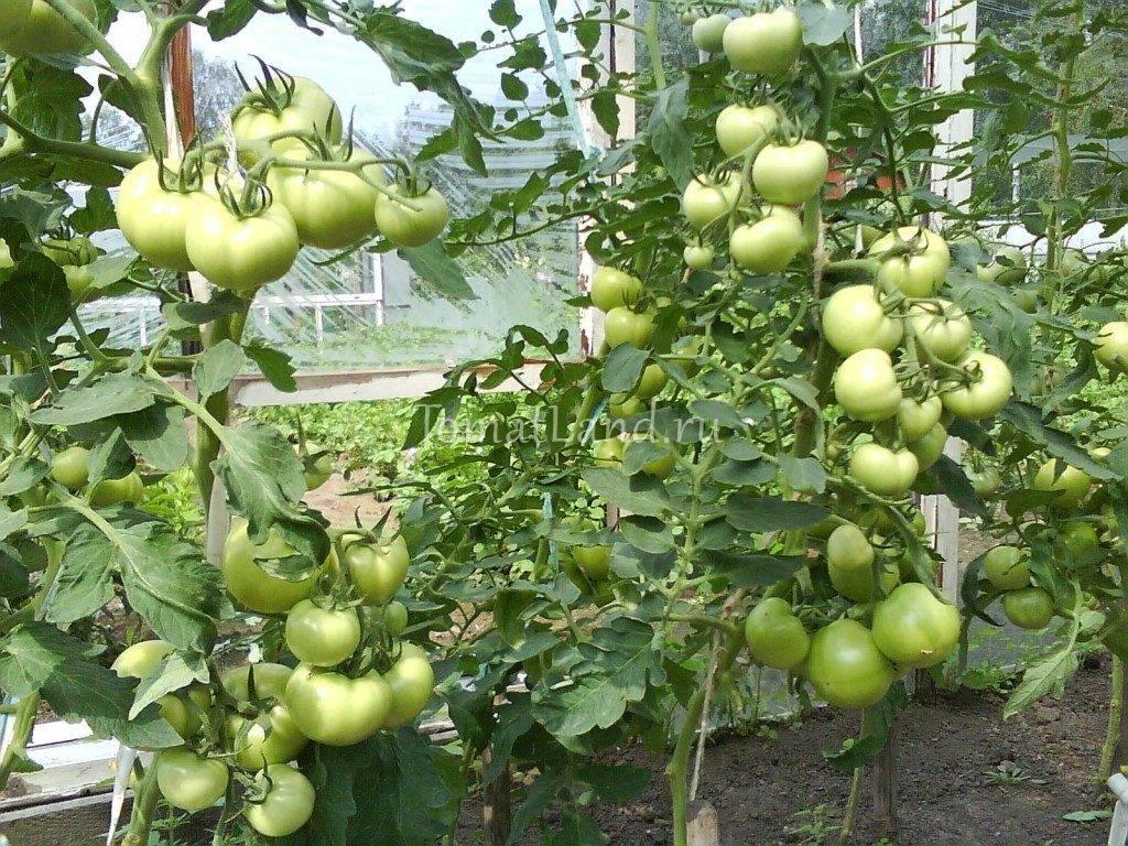 Томат «катя» f1: характеристики и высота куста, описание урожайности сорта, фото-материалы, советы по выращиванию помидор