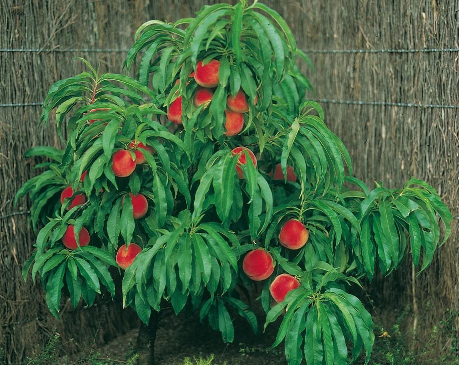 Как вырастить персик из косточки в домашних условиях: посадка и дальнейший уход