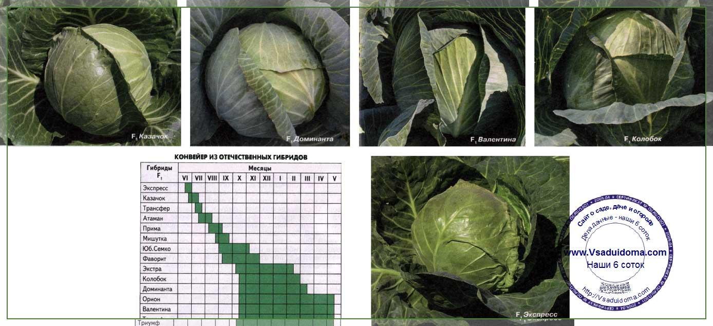 Список голландских сортов капусты
