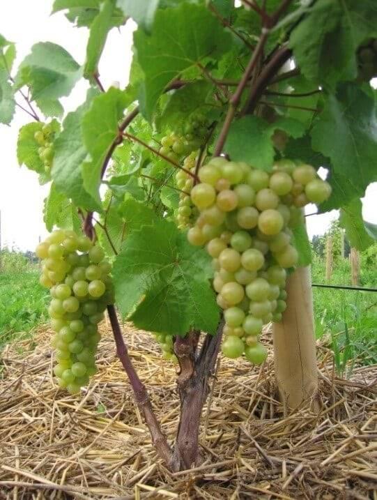Виноград для средней полосы россии, сорта и выращивание