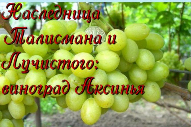 Виноград «Лучистый»: выращивание высокоурожайного и перспективного сорта