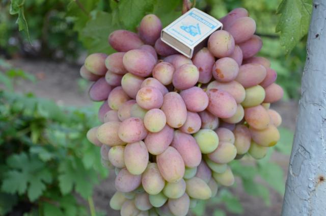 Виноград преображение: выбор,уход, высадка и размножение | комнатные цветы